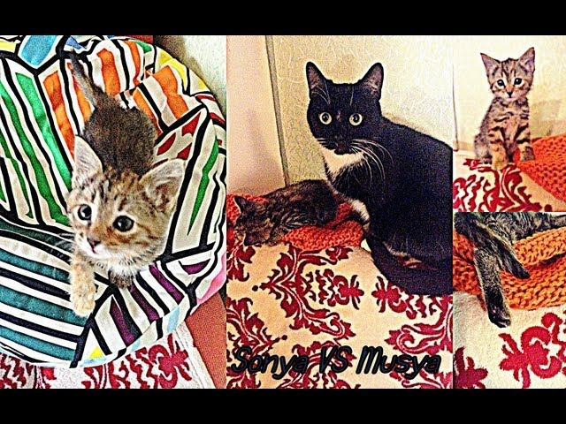 ♥Sonya vs Musya, Смешные кошки))♥ / Funny Cats