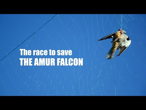 The Race to Save the Amur Falcon