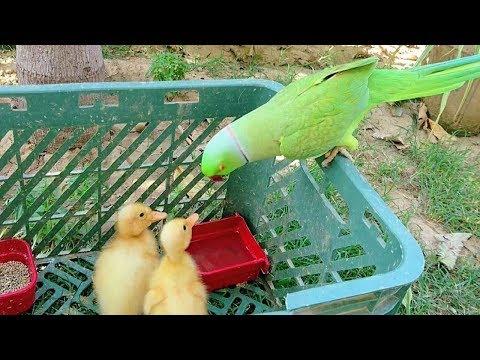Parrot Just Love Ducklings
