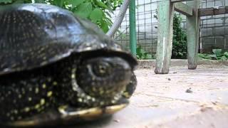 Черепаха на даче(Видео как к нам на дачу в огород забрела черепаха, мы не стали её брать в плен и делать из нее домашнюю любими..., 2014-05-25T10:50:19.000Z)