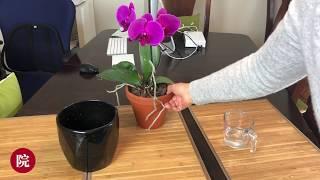 【彬彬有院】花 •开花期间的兰花如何浇水(之二)