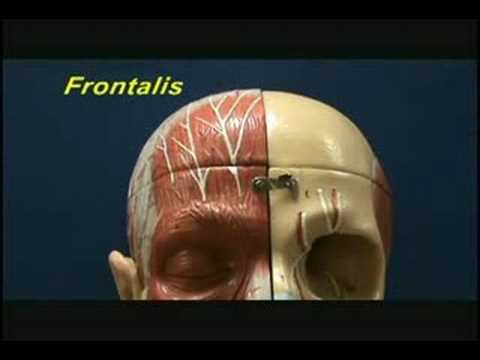 Head and Shoulder Model - Muscles of Facial Expression - Eye