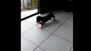 Funny Sausage Dog Dachshund Playing with coke bottle. This is Really funny.