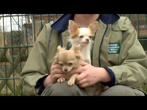45 Chihuahuas aus Messie-Wohnung in Hamburg befreit