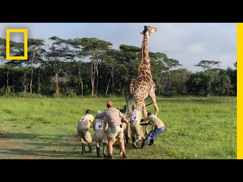 Watch a Harrowing Giraffe Rescue | National Geographic