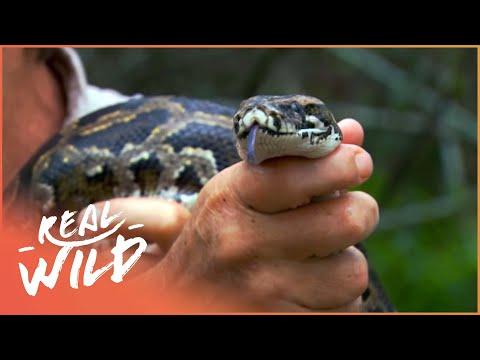 Invasion Of The Giant Python (Wildlife Documentary) | Austin Stevens Adventures | Real Wild