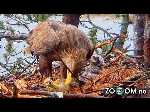 Goose Chick still ALIVE when Eagle's start eating it