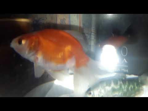 Ikan Mas Koki sama Ikan Cupang dalam Aquarium