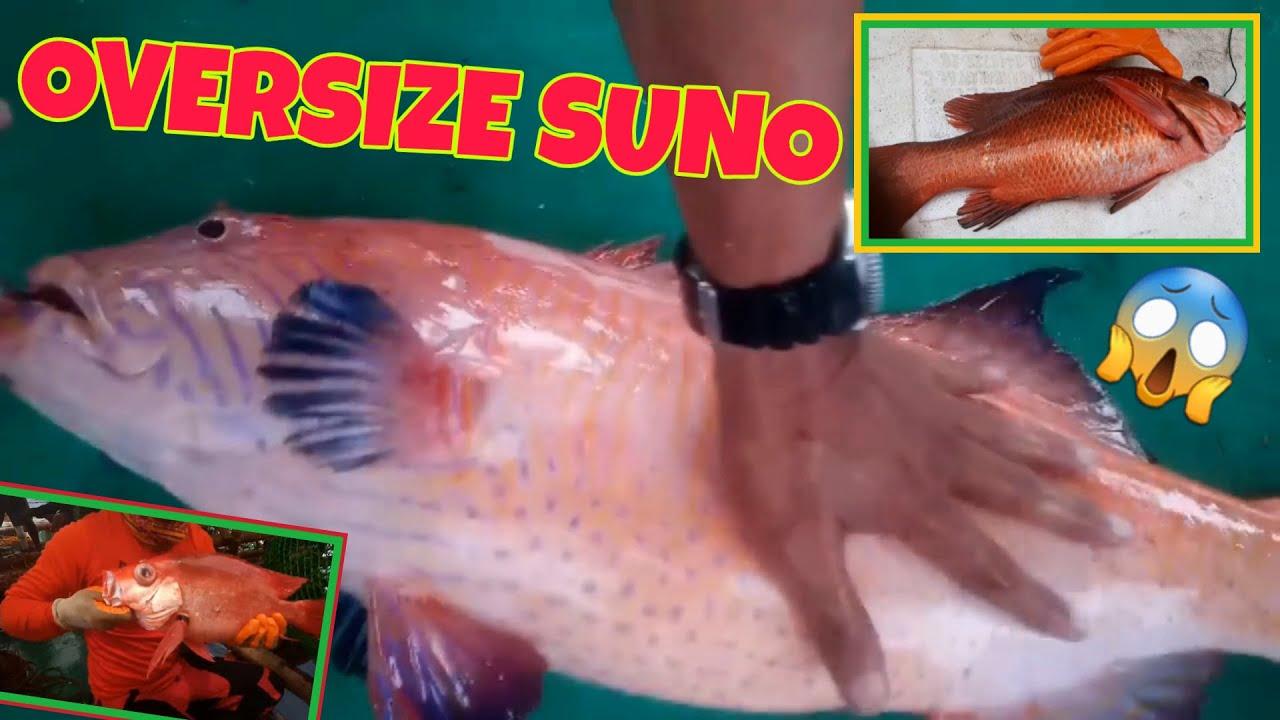 OVERSIZE RED GROUPER & Mangrove Snapper | Bobo fishing