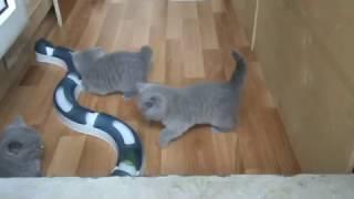 Голубые британские котята. 1.5 месяца. П-к SILVERY SNOW