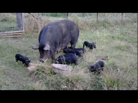 Free Range pigs enjoying dinner at Whitsunday Beefalo and Berkshire Gold  Farm