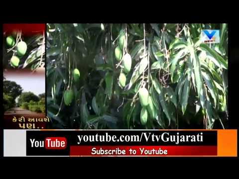 Junagadh: World Famous Kesar Mango  production would be Decrease due to bad weather   Vtv News