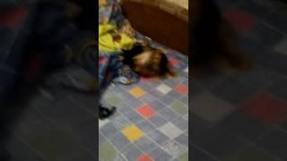 Собака хвост свой покусака
