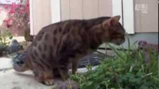 Бенгальская кошка: фото, описание породы, характер. Кошка бенгальской породы