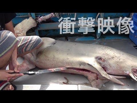 推定200キロのハンマーヘッドシャークのお腹の中から信じられない魚が・・・ ふかひれを作ってみた!Hammer head Shark Eats