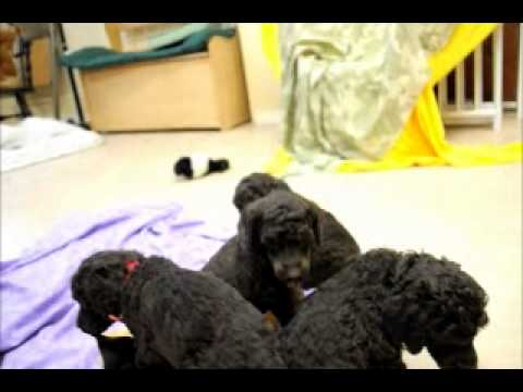 brown-standard-poodle-puppies,-breeder