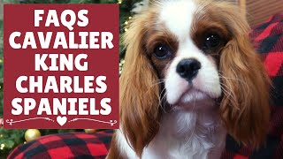 FAQs | Cavalier King Charles Spaniels | Frequently Asked Questions