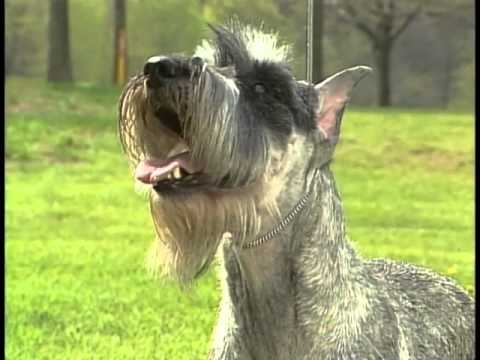Standard Schnauzer - AKC Dog Breed Series