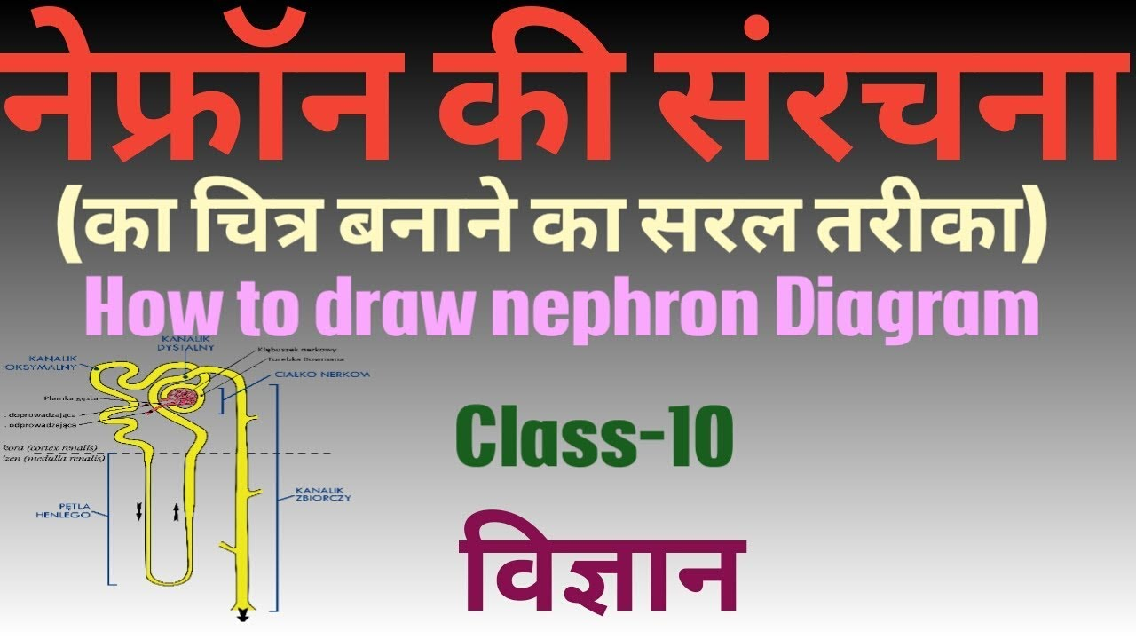 How to draw nephron diagram how to draw nephron diagram nephron anatomy diagram of nephron ccuart Image collections