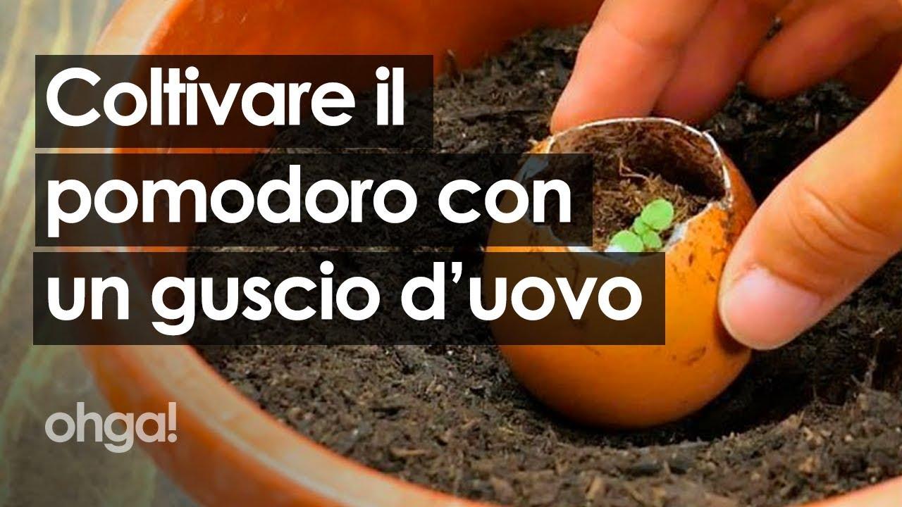 Come Coltivare Pomodori Sul Balcone come coltivare in casa un pomodoro usando un guscio d'uovo