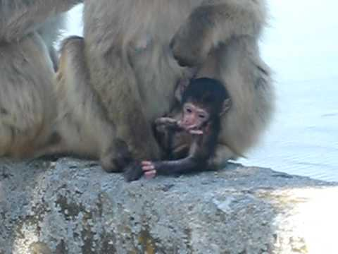 Barbary Macaques Monkeys with their baby on the Rock of Gibraltar