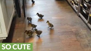 Adorable ducklings come when they're called
