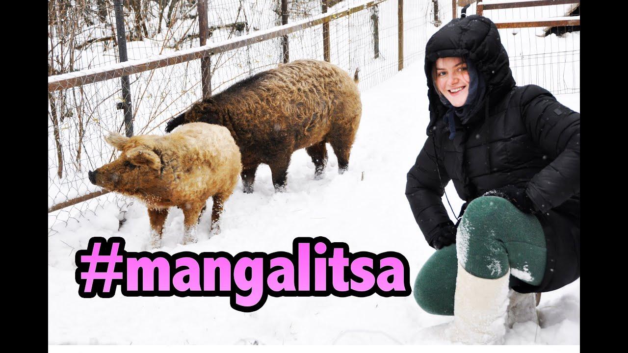 «Кучерявое Свиноводство». Венгерская Мангалица \ Hungarian Mangalitsa