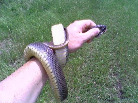how to catch a snake in a trap