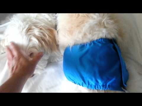 Male Dog diaper trick for old dogs
