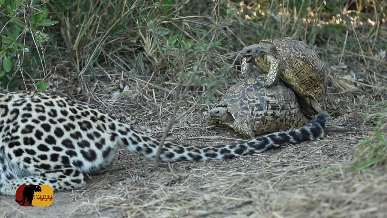Leopard Hunt INTERRUPTED by Intimate Tortoises!!