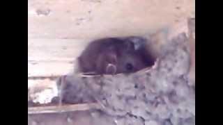 空き家になったツバメの巣で、お休みしてたネズミ君、こちらに気づいて...