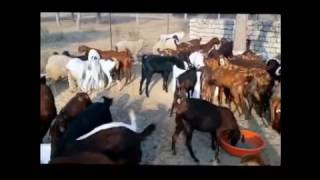(URDU) Bakri pallan/ Bakre kashkari ka kamyab formula - Qureshi Farm