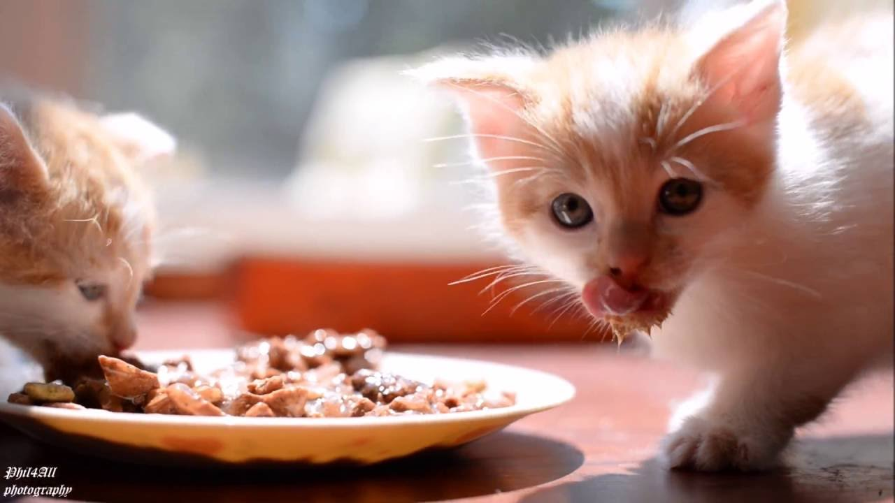 Kittens eating actual cat food for the first time