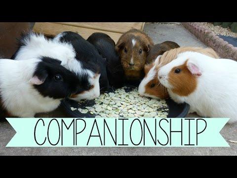 Why Do Guinea Pigs Need Company?