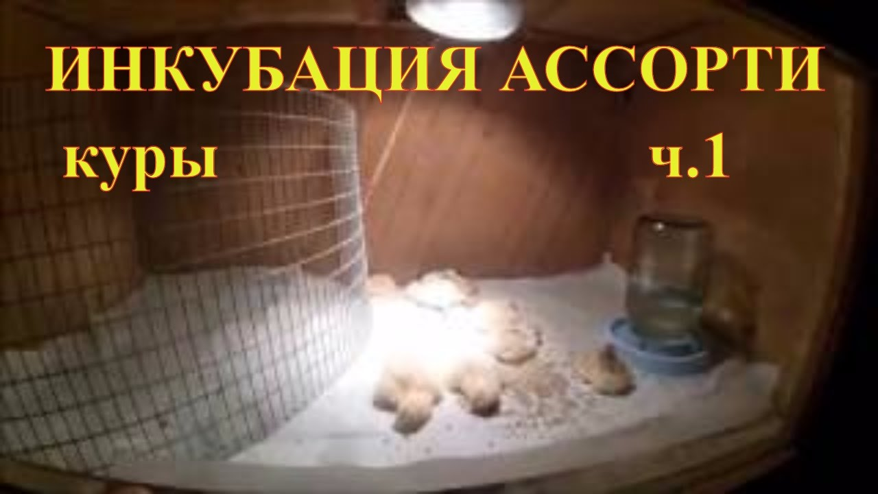 Инкубация вторая // Начало вывода // Разведение кур