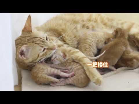 猫妈喂奶太辛苦,小奶猫主动给猫妈当枕头,接下来的举动暖哭主人