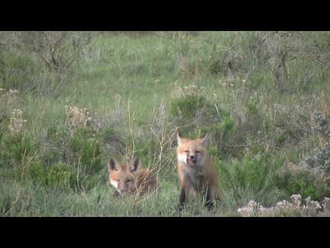 Foxes in hot sulphur