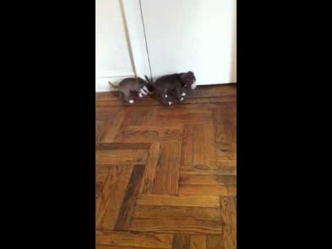 Pitbull Puppies NYC