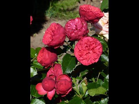Цветение розы Супер гранд аморе,Пиано....