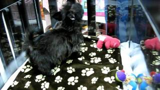 Morkie Puppy -  Maltese And Yorkie Mix Part 2
