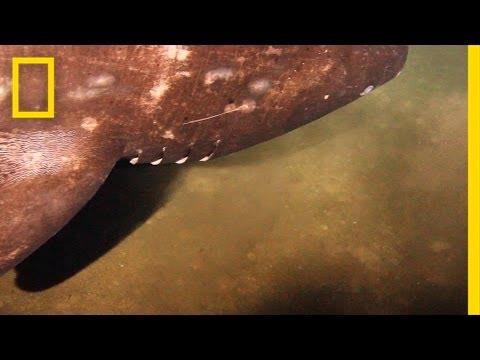 Un robot filmó al misterioso tiburón morador de volcanes submarinos