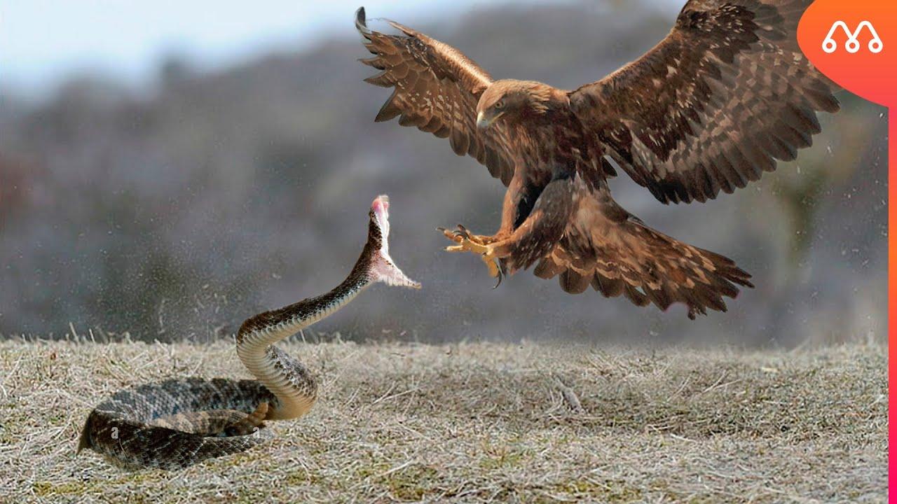 Download CASCAVEL VS AGUIA REAL: QUEM VENCE ESSA LUTA? Rattlesnake vs Golden Eagle