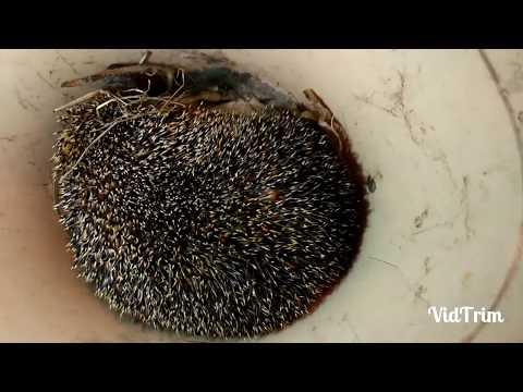 Как вытащить большого клеща гиганта из ежика (Pull big tick giant from a hedgehog)