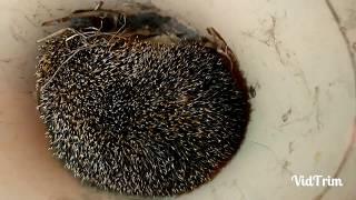 Как вытащить большого клеща - гиганта из ежика  ( Pull big tick - giant from a hedgehog )