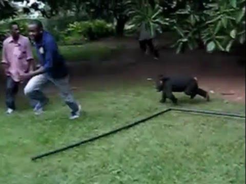 Chimps Escape & Terrorize Hotel Guest in Africa (REAL)