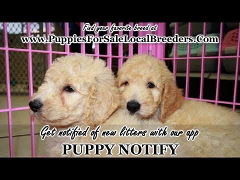 Goldendoodle Puppies For Sale Georgia Local Breeders Near