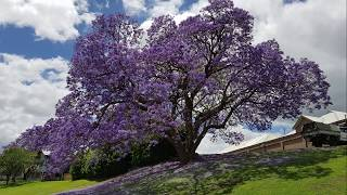 Jacaranda trees in bloom, Grafton NSW Australia