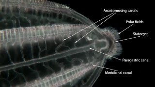 beroe forskalii ctenophora a comb jelly with global distribution