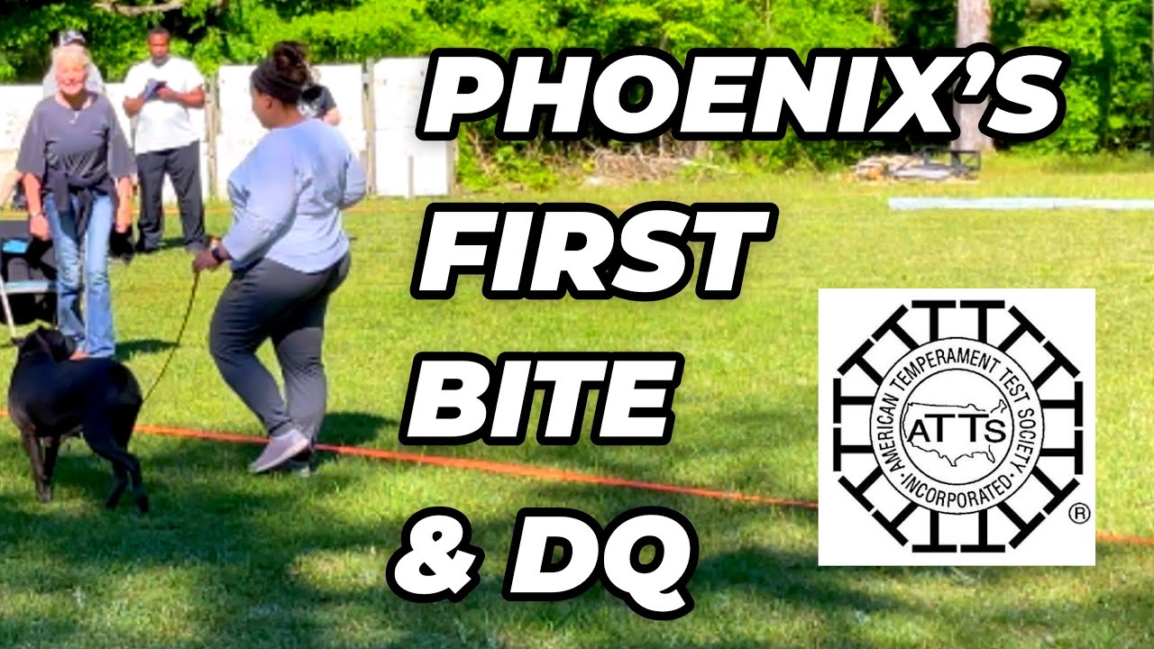Cane Corso Bite: Phoenix Gets Disqualified from the ATTS Test for Biting Someone