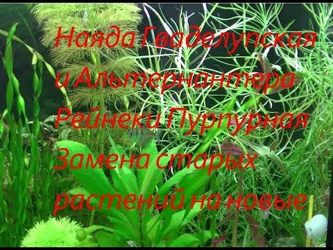 Наяда Гваделупская и Альтернантера Рейнеки Пурпурная   Замена старых растений на новые